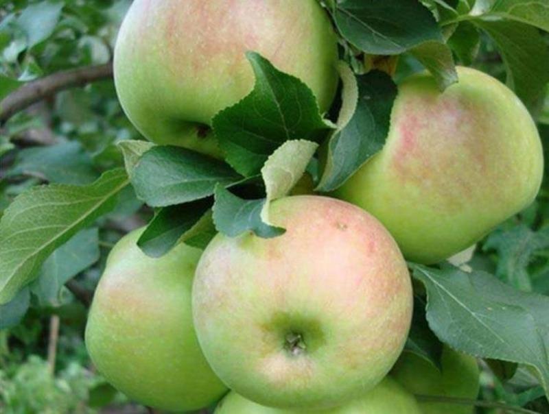 7 самих пізніх і запашних сортів яблук, які вибирають всі досвідчені дачники
