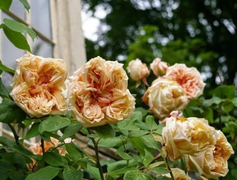 8 красивих сортів великих троянд клаймберів
