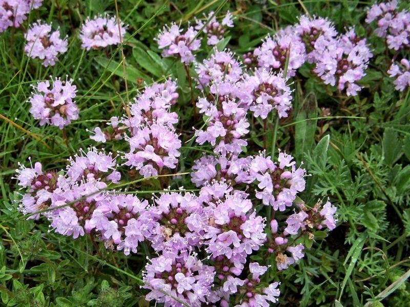 11 грунтопокривних рослин для альпійської гірки, які будуть радувати не один рік