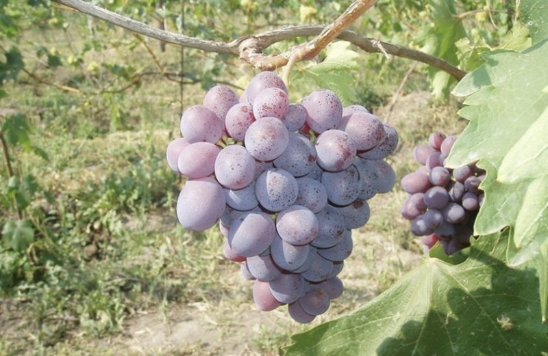 10 кращих сортів винограду для вирощування в середній смузі росії