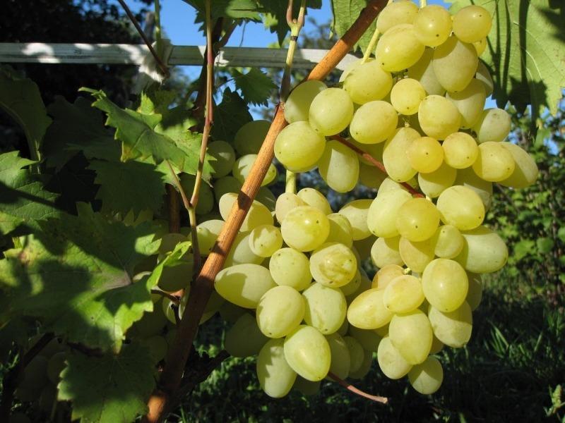 7 сортів винограду без кісточки, з яких можна отримати родзинки методом природної сушки прямо на лозі
