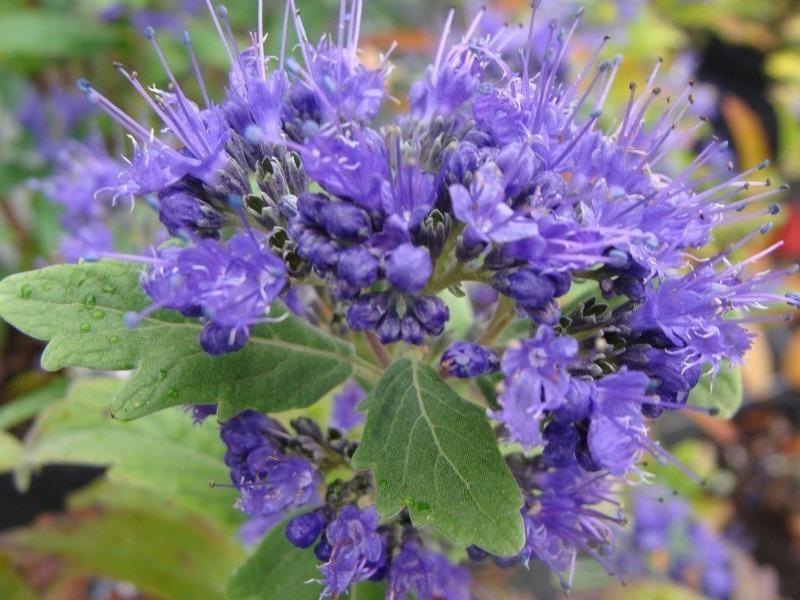 7 найбільш морозостійких квітучих чагарників, які зроблять сад красивим і стильним