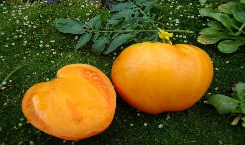 9 лежких сортів помідорів для посадки в 2020 році