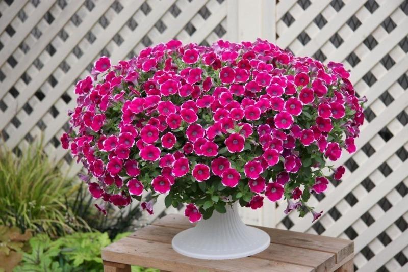 9 ампельних однорічників, які цвітуть великою пухнастою шапкою