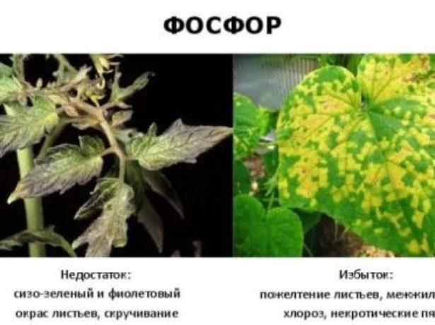 Як правильно проводити підгодівлю огірків