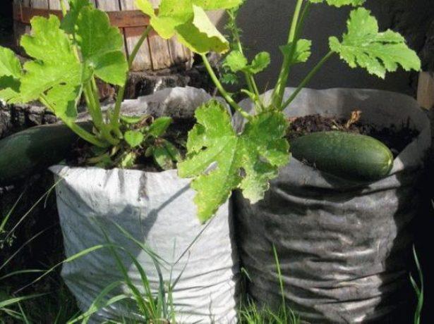 Як садити, вирощувати і доглядати за кабачками