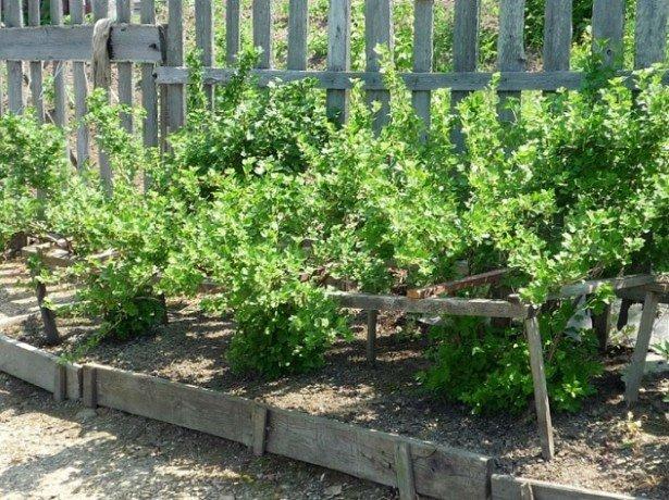 Як підготувати агрус до зими, щоб влітку отримати хороший урожай
