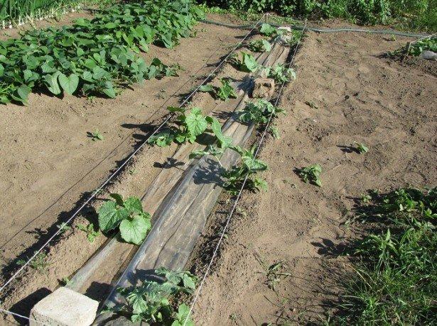 Як посадити кавун на присадибній ділянці