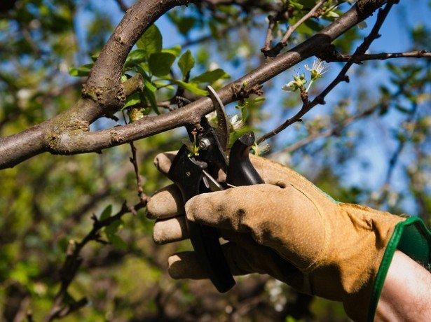 Обрізка вишні - як правильно працювати з молодим і старим деревом