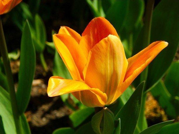 Як правильно садити тюльпани, враховуючи глибину і відстань посадки