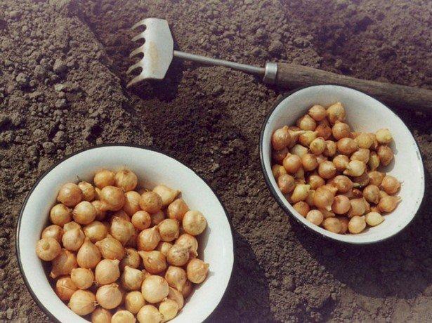 Як виростити цибулю-севок і отримати з нього ріпчасту цибулю
