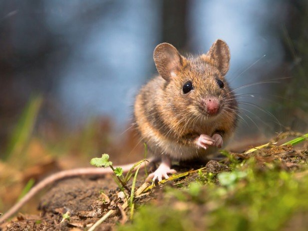 Як захистити тюльпани від мишей: перевірені методи від досвідчених садівників