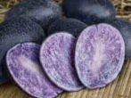 Картопля: як з різноманіття сортів вибрати найсмачніший