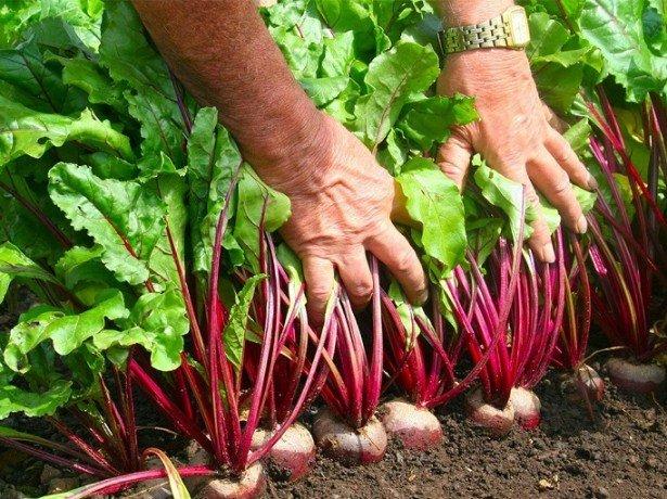 Коли копати буряк і моркву, щоб не помилитися з термінами
