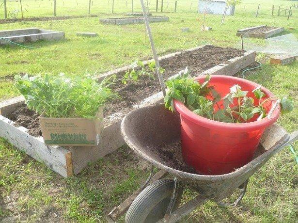 Коли краще садити малину або що вважає за краще червона ягідка?