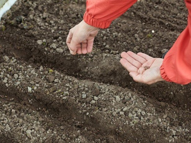 Як сіяти кріп правильно-весняний, зимовий і підзимовий посів
