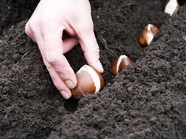 Коли садити тюльпани найкраще - в середині осені або ранньою весною?