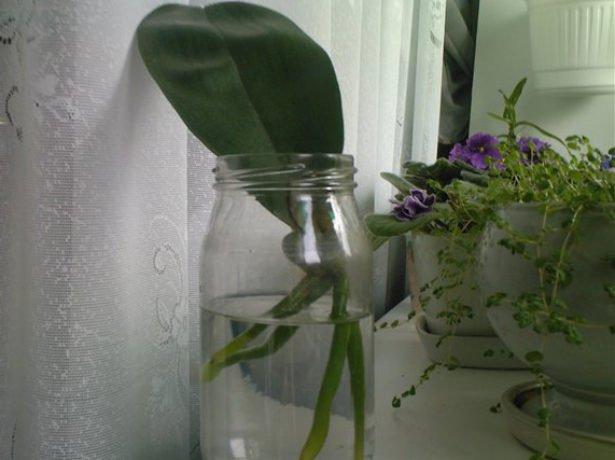 Орхідея фаленопсис: позбавляємося від захворювань і шкідників
