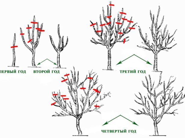 Слива тульська чорна: секрети культивування врожайного дерева