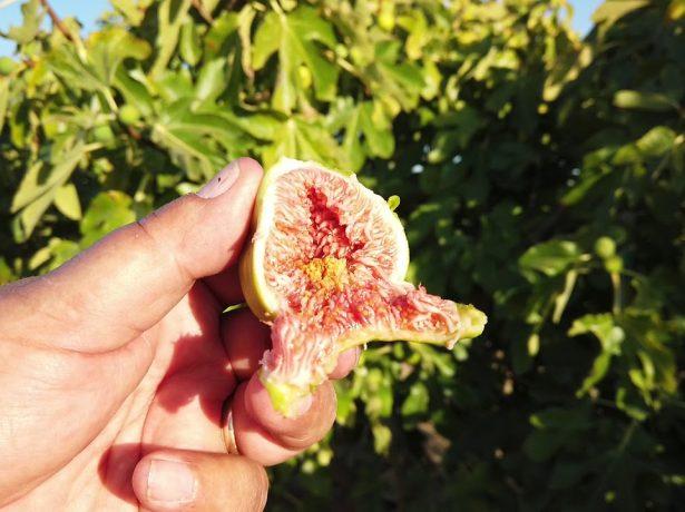 Сорти інжиру, що стали фаворитами присадибних ділянок