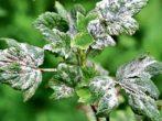 Смородина селеченська і селеченська 2: характеристики та умови вирощування
