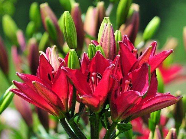 Коли краще садити лілії, восени або навесні