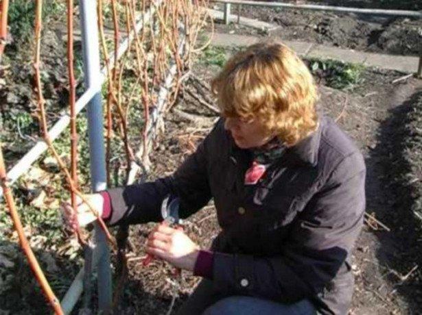 Обріжте виноград на зиму, і урожай вас здивує