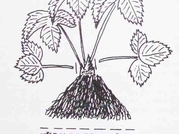 Все про садову суницю королева єлизавета