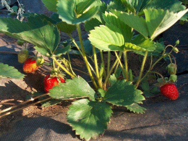 Обрізка листя і вусів полуниці-коли, як і навіщо?