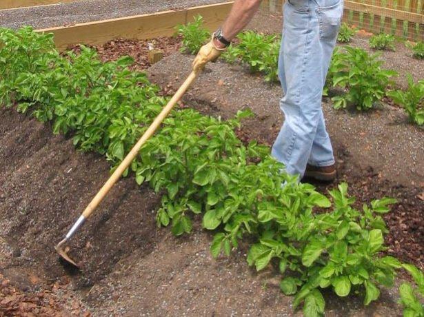 Картопля гала-ранньостиглий урожайний сорт для вашого городу
