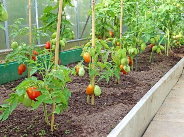 Догляд за томатами в липні: як отримати багатий урожай