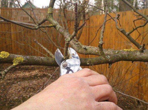 Осіння підрізування яблунь або як обрізати і обробляти гілки