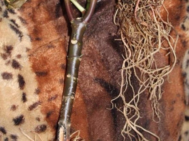 Афеландра-примхлива тропиканка