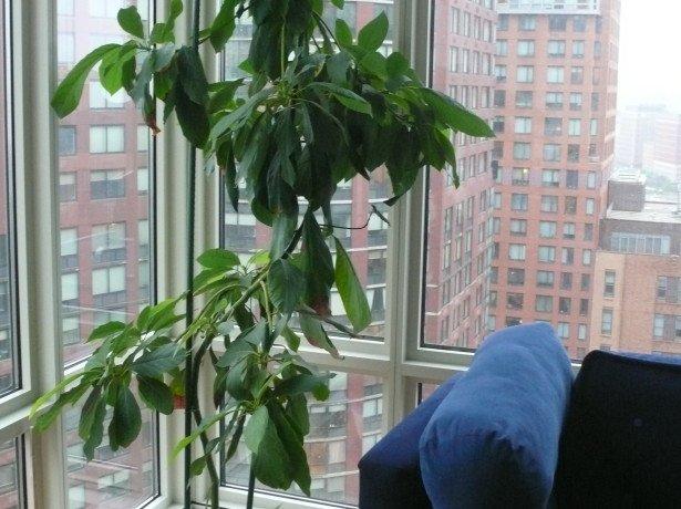 Як посадити авокадо в домашніх умовах