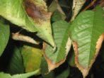 Черешня овстуженка: секрети вирощування ранньостиглої красуні