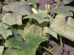 Кабачок кавілі-ранній і суперврожайний