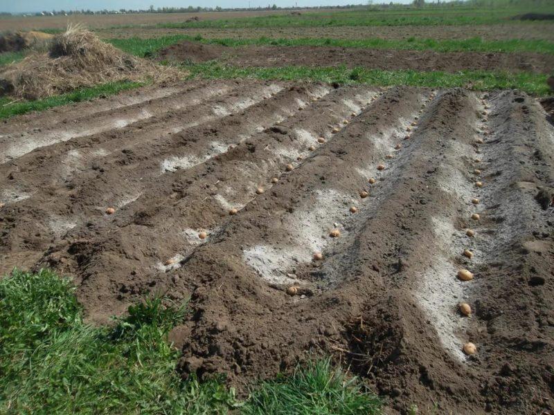 7 способів посадки картоплі, про які ви могли не знати