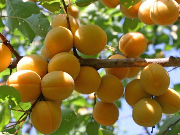 Абрикос лель-соковита солодкість верхівки літа