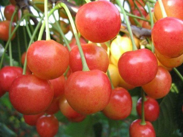 Черешня сорту брянська рожева-ніжна ягода у вашому саду!