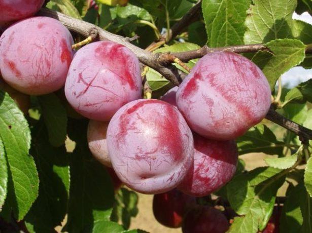 Слива ренклод альтана-ароматна солодкість літа