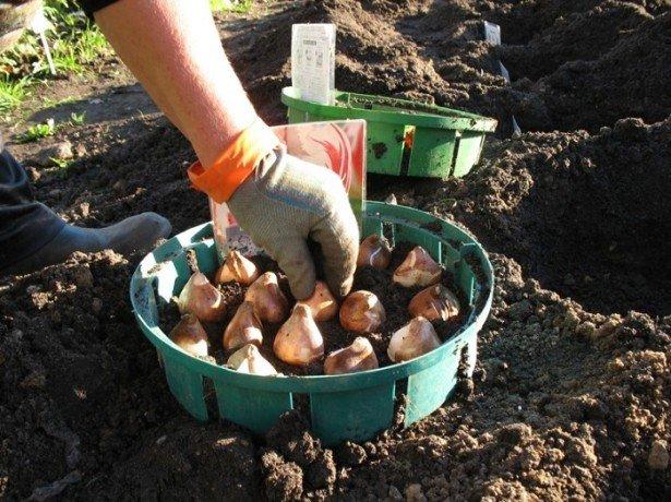 Підготовка тюльпанів до посадки, або як правильно обробити цибулини перед посадкою