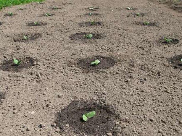 Як виростити кабачок цукеша, враховуючи особливості сорту