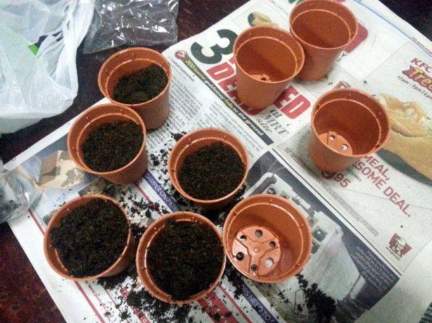 Плюмерія: як виростити екзотичну квітку з насіння в домашніх умовах