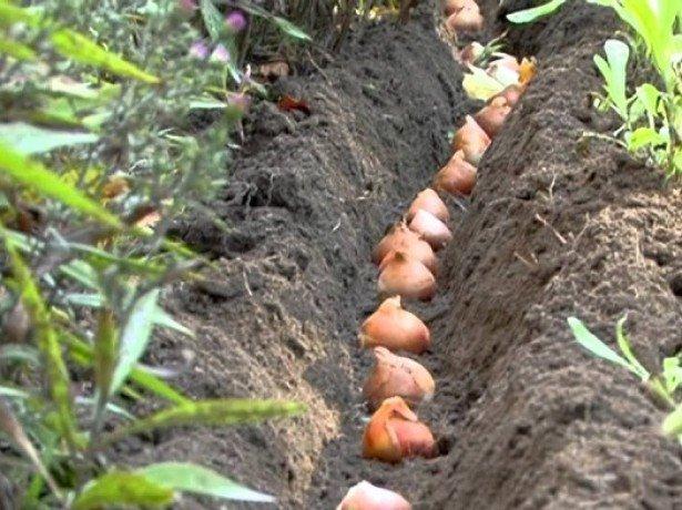 Посадка тюльпанів восени в самі підходящі терміни з урахуванням всіх нюансів