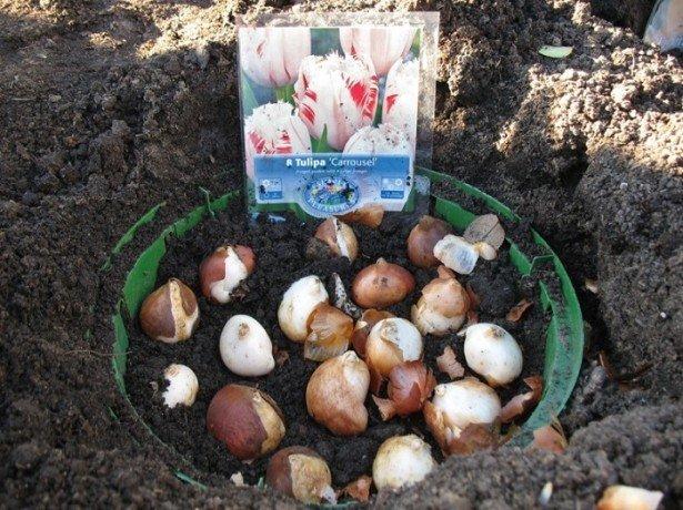 Посадка тюльпанів в кошики і контейнери-чим вона краще і як садити