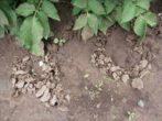 Картопля рівєра: вирощуємо голландський сорт