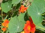 Вирощування витонченої настурції з насіння і розсади