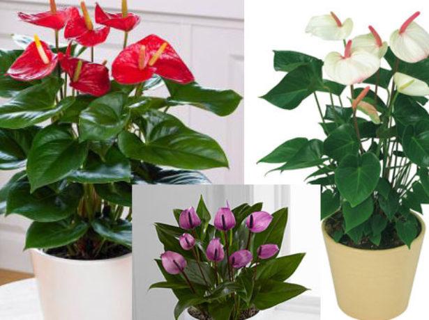 Вирощування антуріумів з пишним і довгим цвітінням
