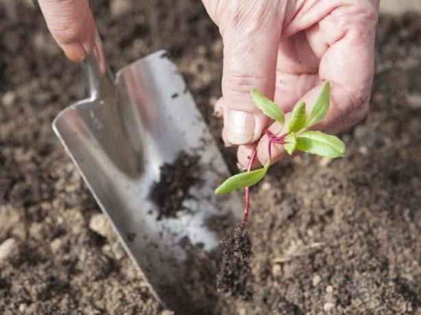Як виростити здорову розсаду буряка