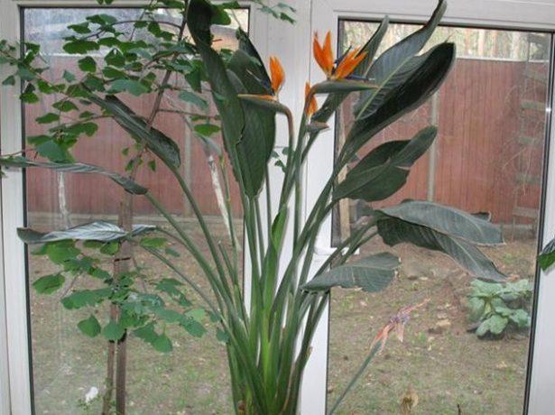 Як приманити квіткову райську птицю: догляд за стреліцією в домашніх умовах